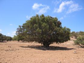 The Argan Tree (Argania spinosa)